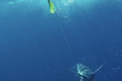 marlin-on-fishhead-web