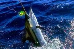 pacifico-marlin
