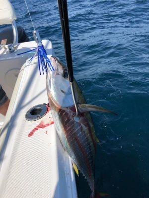 Yellowfin Tuna on Pelagic Pilot