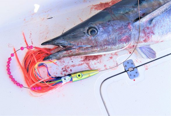 Wahoo on Iridescent Plomero