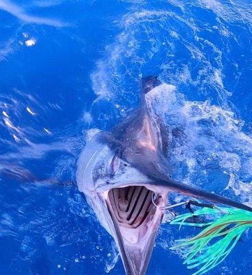Lummee MagBay Lure Gets Marlin